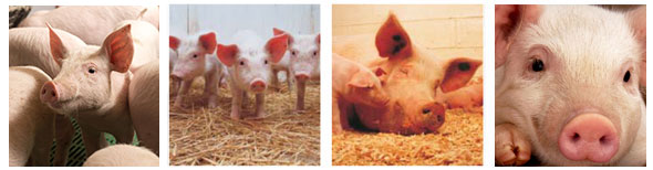 Itau Animal Feeds Pig Range
